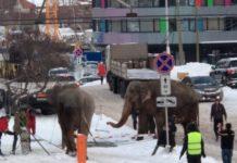 Екатеринбург, новости, Свердловская область, новости Урала, из цирка сбежали слоны, слоны, улица 8 марта