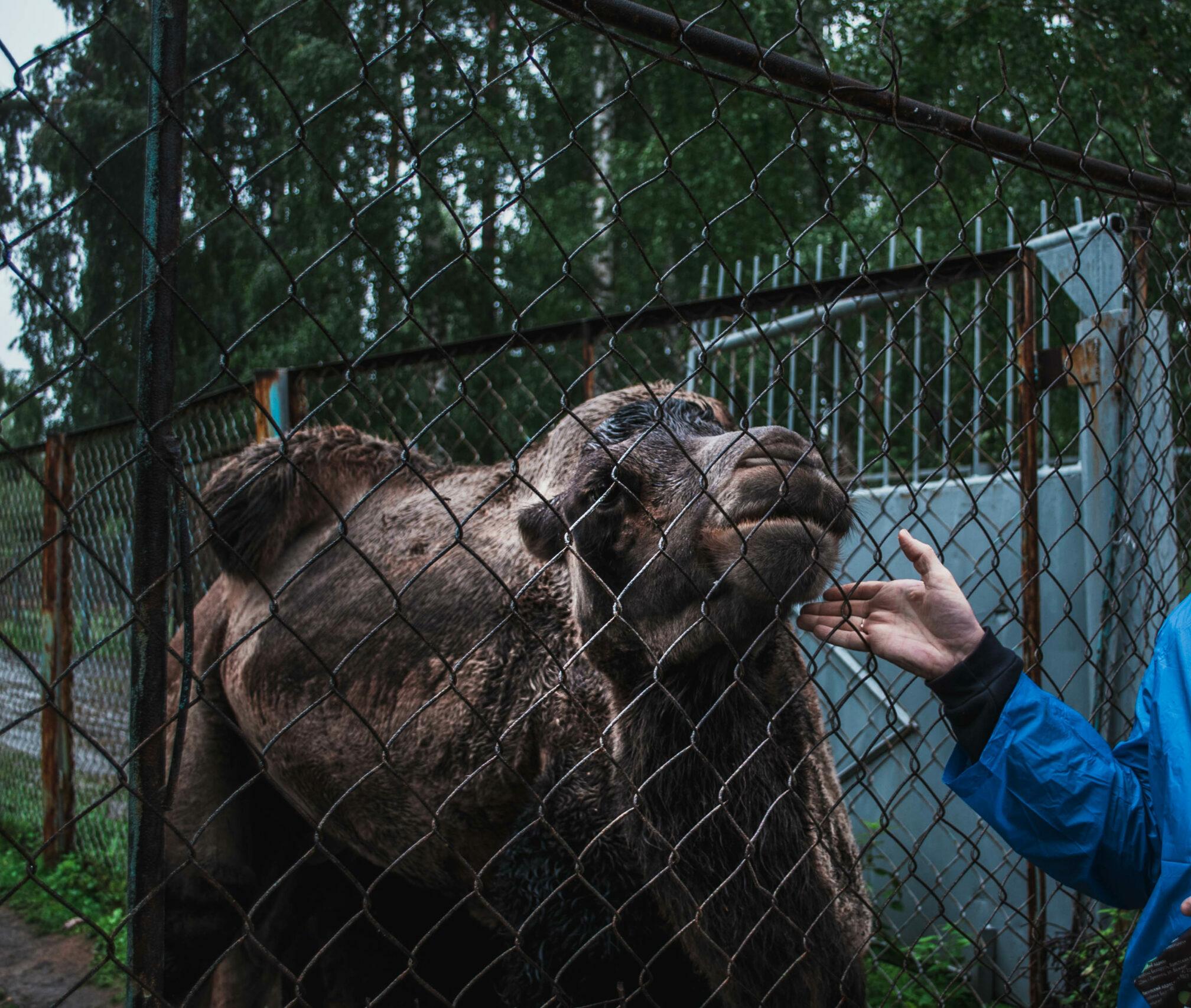 оленья ферма, озеро Иткуль, плохое обращение с животными, верблюд Яша, Оленья ферма у озера Иткуль, Свердловская область, интересное на Урале