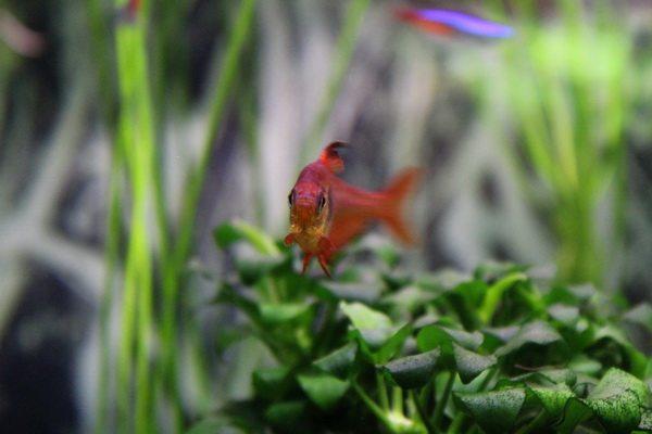 Красный фантом