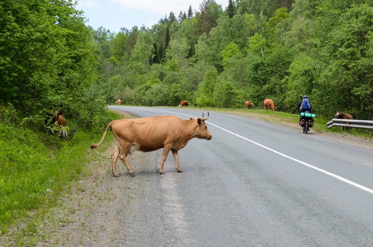 Коровы бродят по скоростной трассе