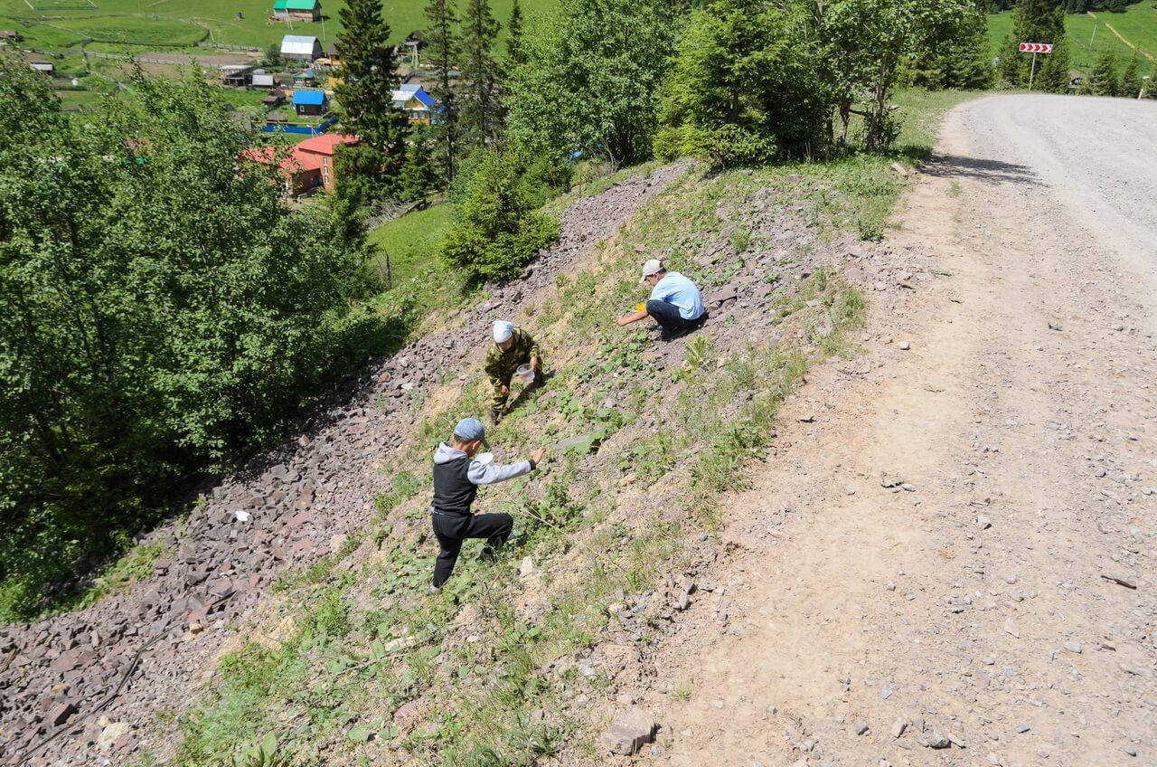 Дети собирают землянику, прямо у дороги