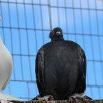 Любовь и голуби: интересные встречи в Красноуфимске
