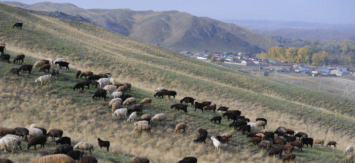 Где живут щедрые козочки, дающие пух для оренбургского платка?