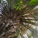 Старейшую пальму на Урале признали памятником живой природы