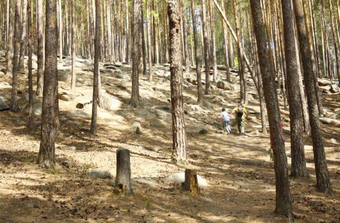 ... потом лес меняется, становится более светлым, а подъем более крутым.