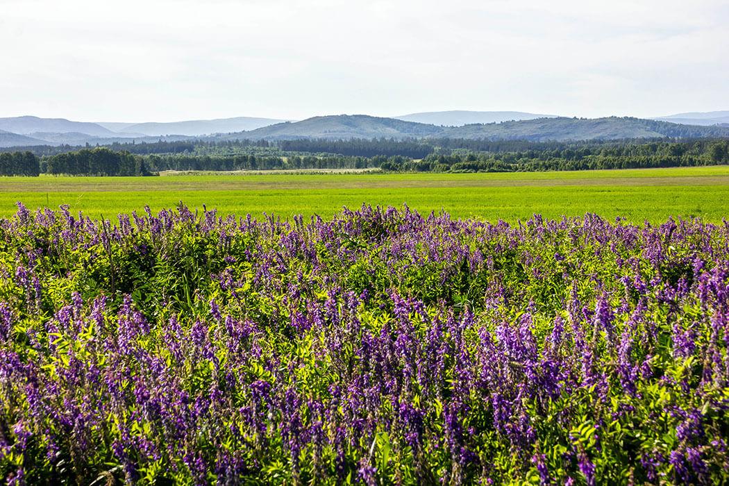 «Лавандовые поля» Южного Урала