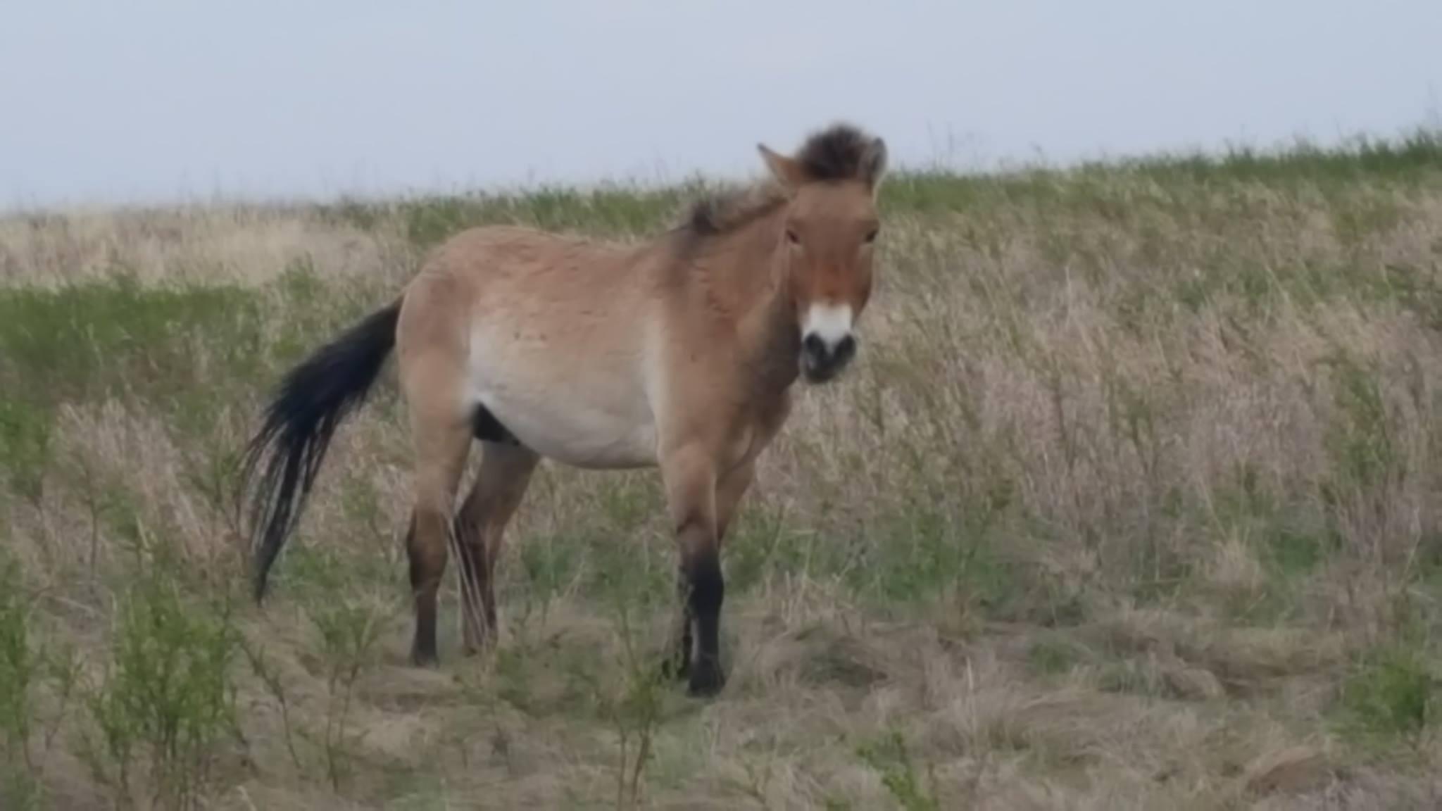 лошади Пржевальского Перчик