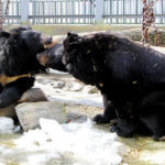 Из-за теплой зимы в Екатеринбурге медведи вышли из спячки