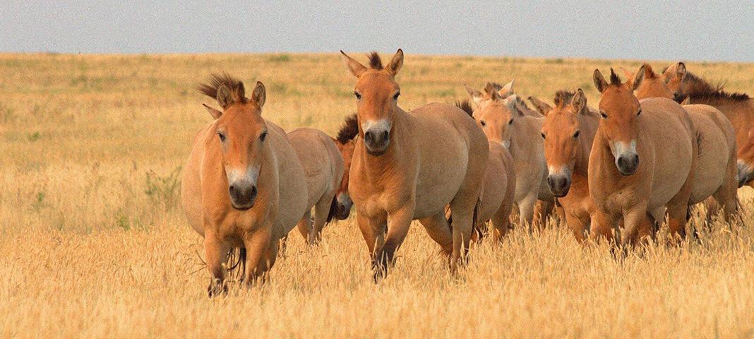 Возрождение популяции лошади Пржевальского