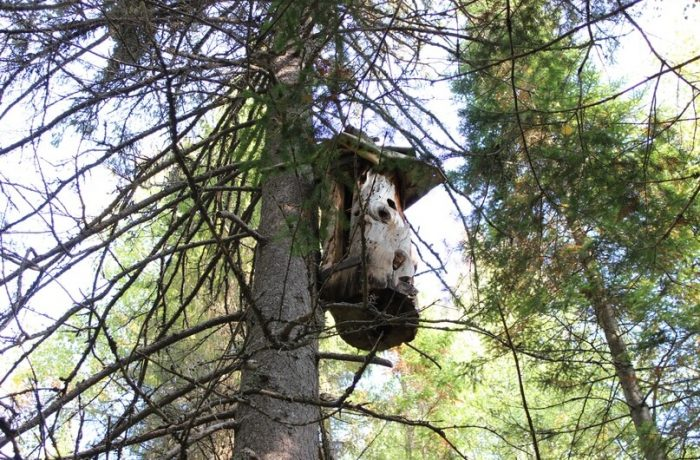 Борть — пчеловодство прошлого
