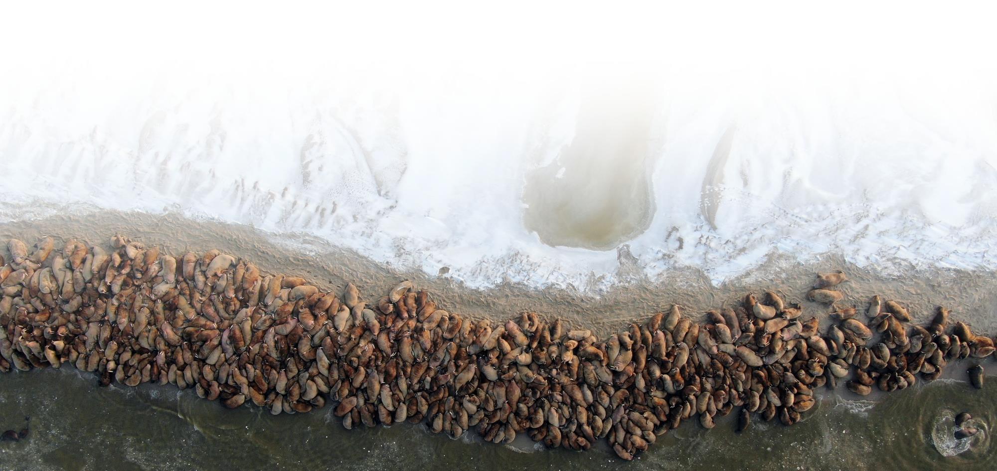 На Ямале в одном месте собралось более тысячи моржей!